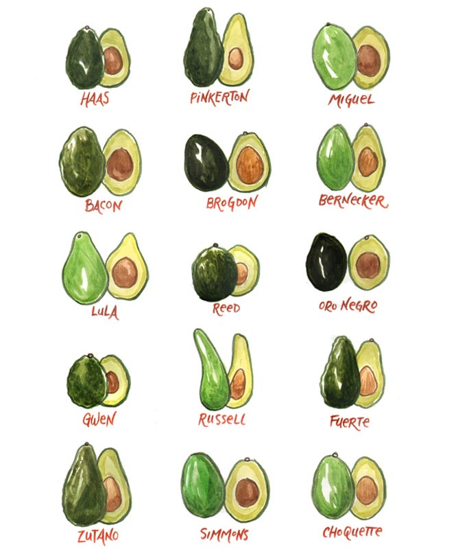 Odrůdy avokáda