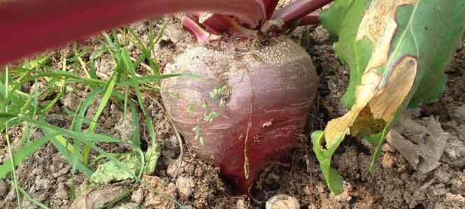 Pěstování červené řepy