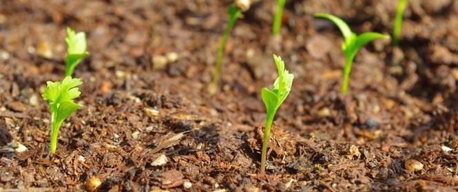 Pěstování koriandru