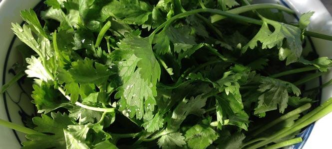 Listy koriandru v talíři