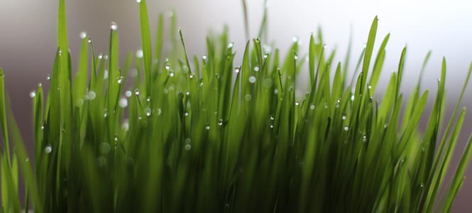 Čerstvé výhonky mladé pšenice
