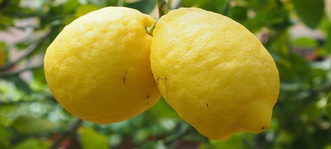 Dva citrony na stromě